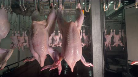 dead chickens : Chicken bodies transferred in and out of different processing stages at meet processing plant. 4K.