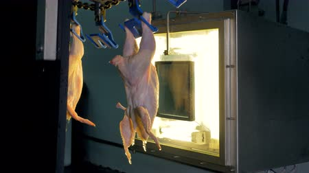 dead chickens : Chicken bodies quality control. Hens move away near a bright factory window. 4K. Stock Footage