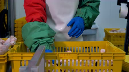 dead chickens : A worker packs chicken legs from a basket into individual trays. 4K.