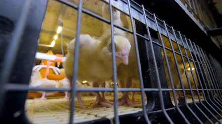 csaj : Baby chicken at chicken farm. Poultry indoors.