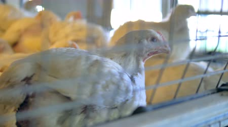 fazla : Chicken in poultry cage. Close-up.