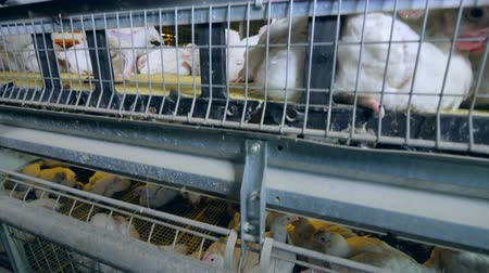 fazla : Chicken walking in poultry cage. Close-up. Stok Video