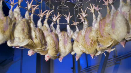 dead chickens : Dirty chickens at a poultry automated conveyor. 4K.