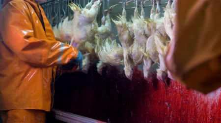 dead chickens : Manual throat cutting at a chicken factory. Stock Footage
