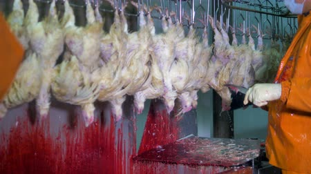 dead chickens : An overhead factory line moves as workers cut chickens throats. Stock Footage