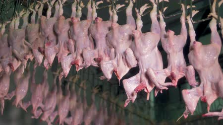 dead chickens : Chicken carcasses move on unending factory suspension rail. Stock Footage