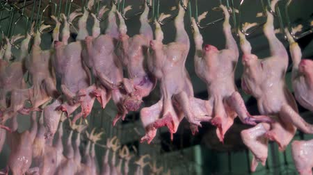 atender : Headless chicken bodies move upwards on a factory line for processing.