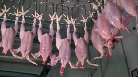 dead chickens : Automated meat processing equipment at poultry. 4K.