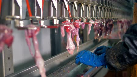 entrails : A worker selects various chicken giblets from a factory line.