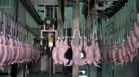 dead chickens : Moving conveyor with rows on poultry processing factory full of chickens. 4K.
