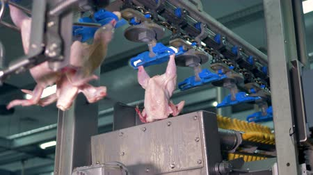 dead chickens : Trussed chicken bodies pass the processing equipment. Stock Footage