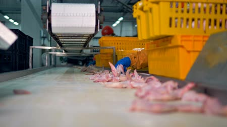 dead chickens : A conveyor full of chicken wings during collecting and packing. Stock Footage