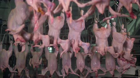 dead chickens : Pink chicken headless bodies moving on a S-line overhead.