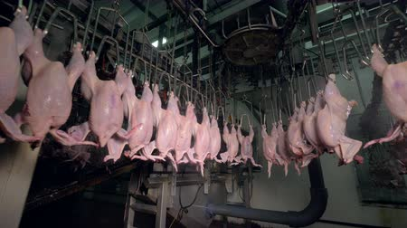 dead chickens : Headless chickens transported through ceiling lines near factory equipment