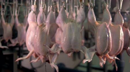 dead chickens : Plucked and beheaded chickens moving on a poultry shackle line.