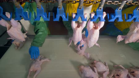 continuidade : Workers put chicken carcasses into plastic overhead slots.