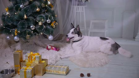 převrátit : Dog waiting for a gift under Christmas tree. HD.