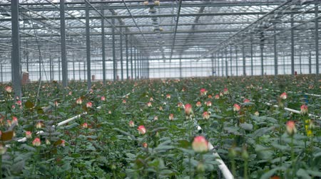 floriculture : A large greenhouse with many unopened roses on stems.