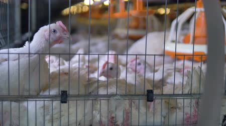 apertado : Large broiler chickens sit in a cramped cage. Vídeos
