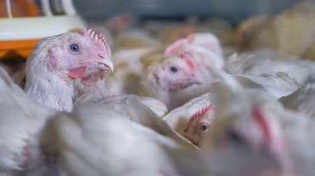 bem estar : A close view on many chickens resting inside a cage.
