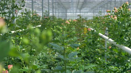 agro : A close view on roses growing in clusters in a greenhouse.