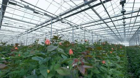 rosebush : Many blooming bright pink roses under greenhouse ceiling.