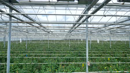 dach : Watering lines and lighting equipment in a nursery for growing yellow roses in industrial greenhouse. Wideo