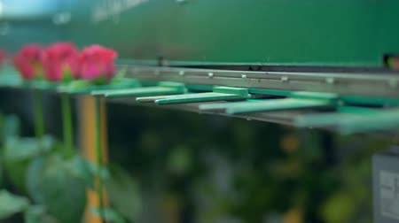 abriu : Red roses inside a sorting machine going on a conveyor.