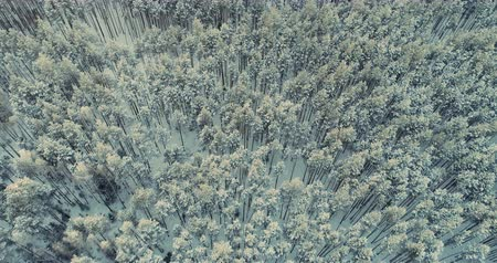 сибирский : Snowy trees from above. Epic winter forest. Aerial shot.