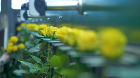 egg sorting : Roses with yellow petals move on a factory grader and shake.
