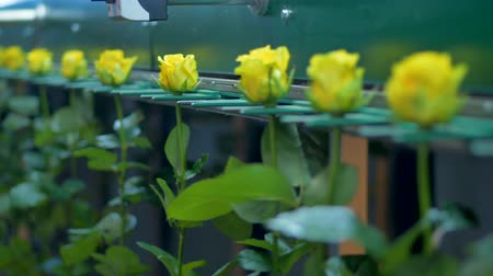 стандарт : An automatic flower factory grader transports yellow roses.