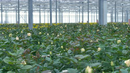 industrialization : A greenhouse building full of cream white roses in the foreground. 4K. Stock Footage