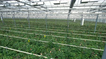 hybrids : An industrial greenhouse with endless rows of rose bushes.