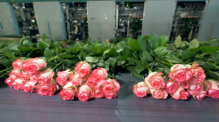 rosa : A distancing view on many roses lying on a transporter before packing.