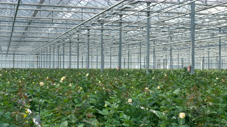 rosebush : A full flower nursery with white rose bushes. Stock Footage