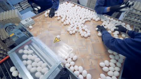 sorted : Workers at poultry put fresh eggs in crates. Poultry farm. Stock Footage