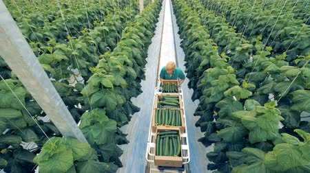picked up : Ripe cucumbers are being collected by a greenhouse worker. Healthy eco products concept.
