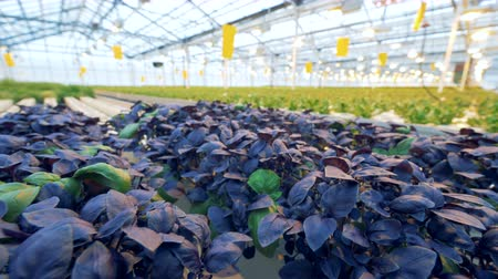 flowerpots : Close up of basil plants rearing in a large warmhouse. Modern greenhouse indoors.