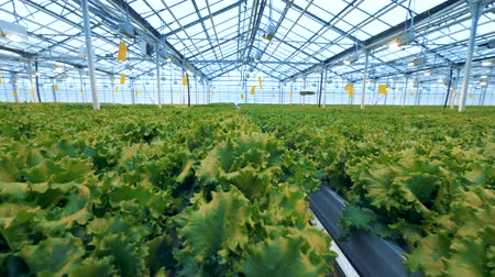 horticulture : Vast lettuce plantations inside a hothouse. Industrial vegetable production: modern eco-production with drip irrigation
