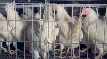 klatka : Several hens sit in their cage, close up. Wideo