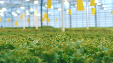 propagação : Static transition of a front view into background view of green lettuce plants. Vídeos