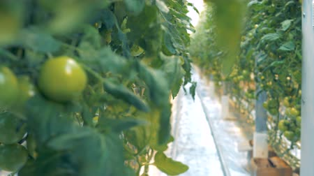 cserjés : Close up of unripe tomatoes hanging on branches and the passway in the greenery