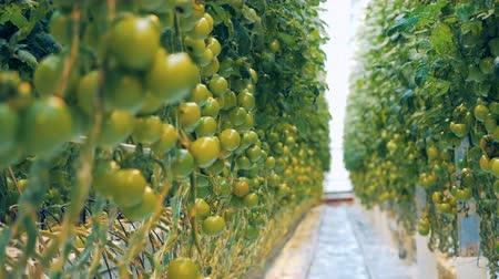 éretlen : Clusters of immature tomatoes are being bred in a greenery
