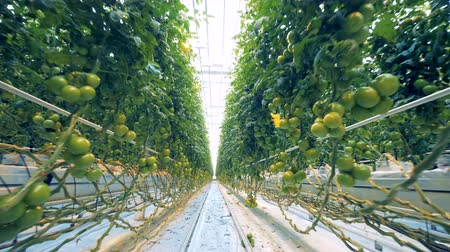 éretlen : Fast footage of tomatoes brushwood rows in a greenhouse with a passage between them