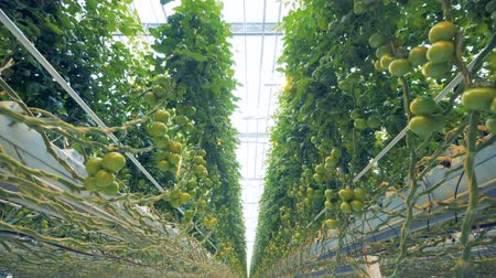 cserjés : Dynamic bottom-up view of tomato coppice in a spacious greenhouse