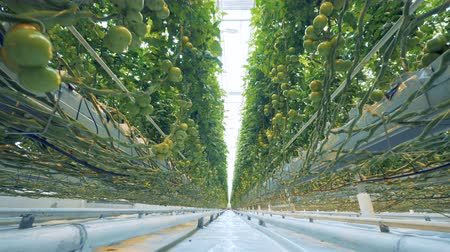 éretlen : Towering bushes of green tomatoes grown in a warmhouse