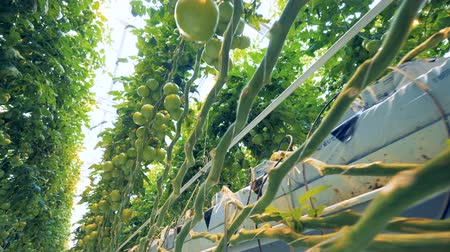 unripe : One side of a growing tomatoes plantation in a greenery from downside view Stock Footage