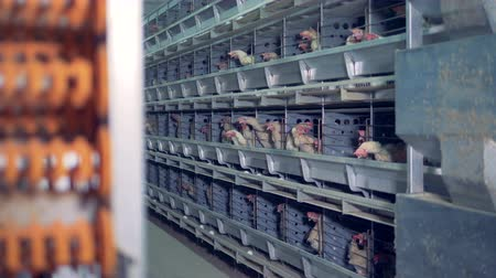 egg laying : Hens are sitting in cages in a poultry house