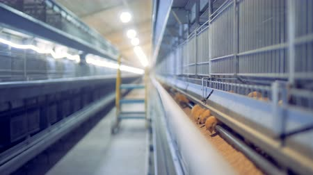 csaj : Feeding process of small chickens in a henhouse, poultry farm. Stock mozgókép
