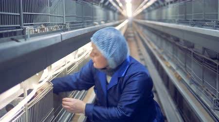 closing : Farmhouse employee opening the cage, taking out a chicken and inspecting it Stock Footage